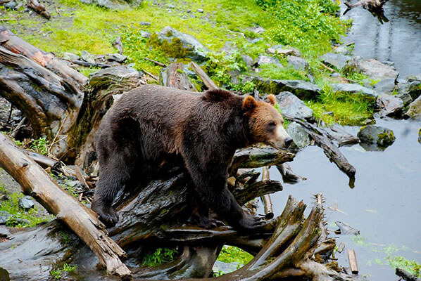 Bear Viewing Homer