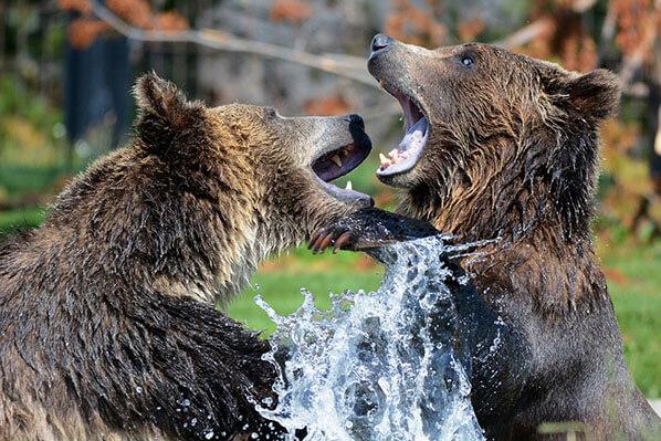 Bear Viewing Chinitna Bay