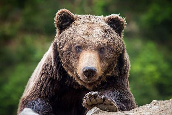 Homer Bear Alaska